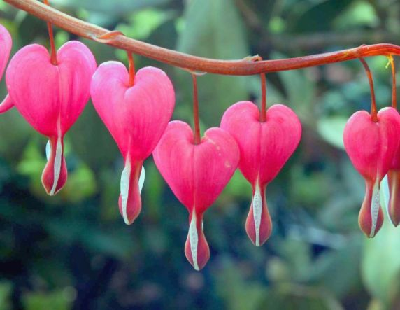 GOOD   bleeding-heart-flowers-images